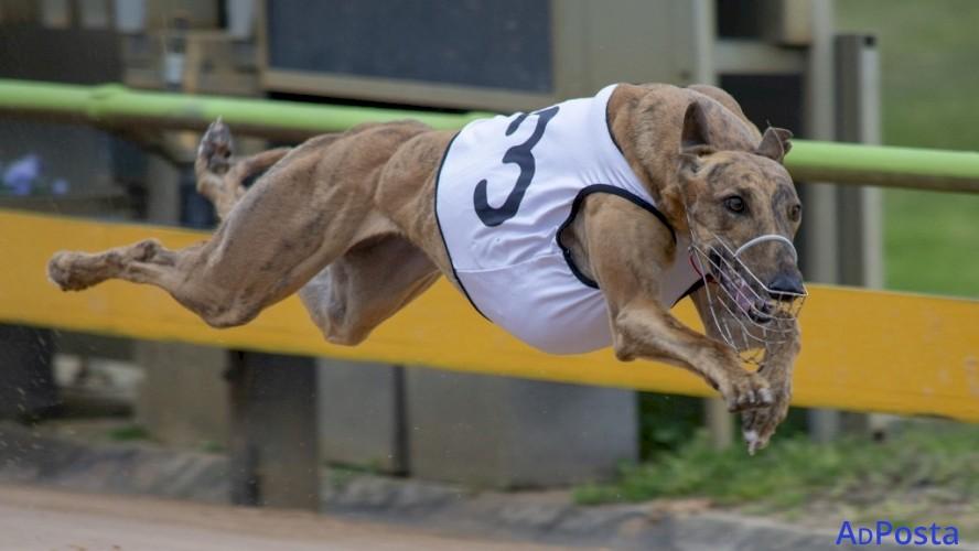 Greyhound Racing tips Australia: Premium Membership